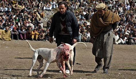 dogs fighting baying mob watches dogs fight to the in barbaric tournament in pakistan
