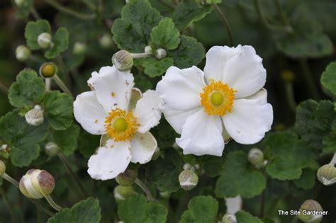 anemone x hybrida honorine jobert the site gardener