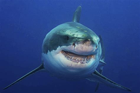 largest great white shark attack breeds picture
