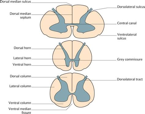 transverse section of the spinal cord 15 the structure of the central nervous system pocket