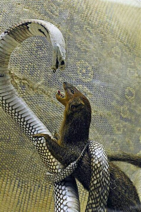 mongoose vs cobra snake king cobra vs weasel animals pinterest