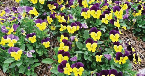 sorbet violas louisiana super plant fall 2012