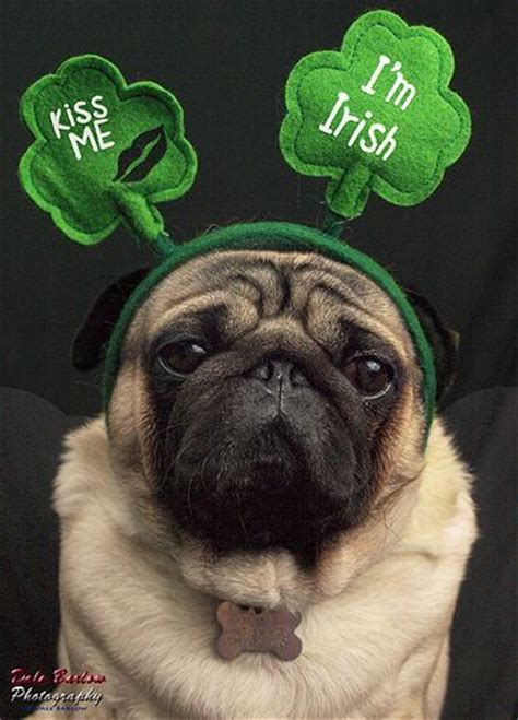 st patricks day pug 10 images about mypetssecretholiday on the secret theater and