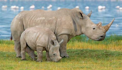 imagenes rinoceronte blanco galer 237 a de im 225 genes rinocerontes blancos