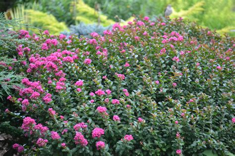 myrtle plant august 2013 plant of the month common crapemyrtle