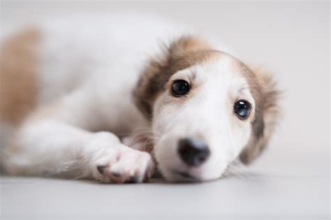borzoi puppies borzoi puppies www pixshark images galleries with a bite