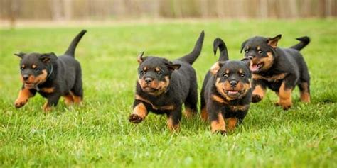 rottweiler puppies tails 3 answers why do rottweilers tails