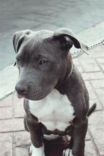 Best Pit 25 Best Ideas About Pitbull Terrier On