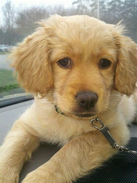 cocker golden retriever best 25 golden cocker retriever ideas on golden cocker spaniel puppies