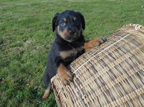 rottweiler breeders west rottweiler puppies horsham west sussex pets4homes