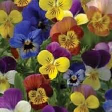 Bibit Bunga Dianthus Carpet 50 Butir Benih bibit bunga cherry blossom