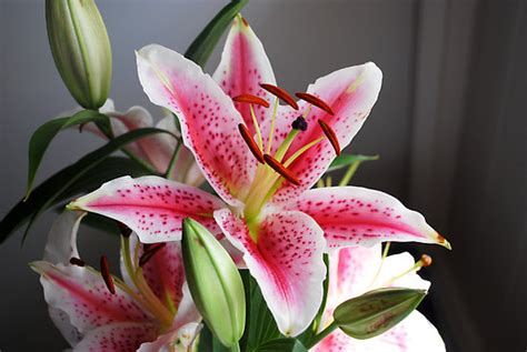 stargazer lily care and growing tips for beautiful garden typesofflower com