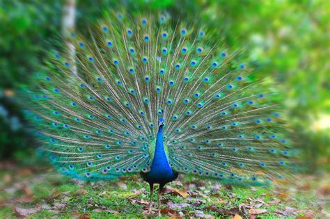 Peacock   Dream meaning   Dream about Peacock
