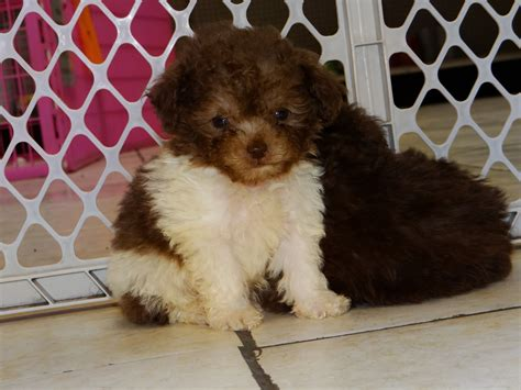 puppies for sale sc poodle puppies dogs for sale in columbia south carolina sc mount pleasant
