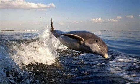 dog boat dolphin dolphin following boat wake animals dogs pinterest