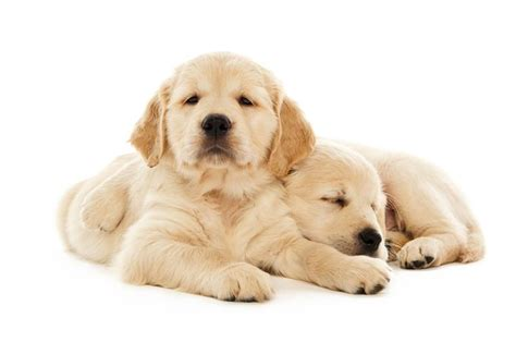 what are the different types of golden retrievers types of breeds golden retriever breeds picture