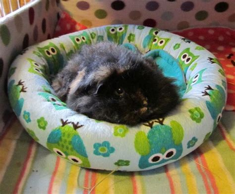 guinea pig beds cute guinea pig bed for nibs pinterest