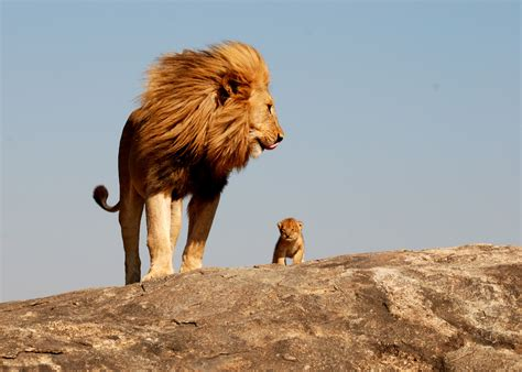 the real lion king 1funny com