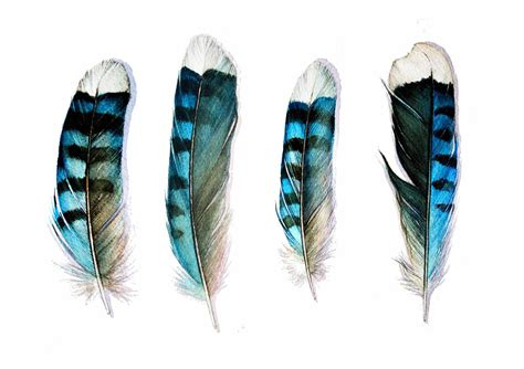 tattoo feather jay four blue jay feathers art card от jodyvanb на etsy перо
