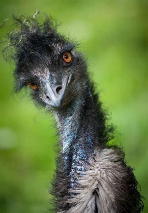 images  emu  pinterest