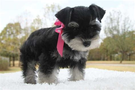 teacup schnauzer puppies the world s catalog of ideas