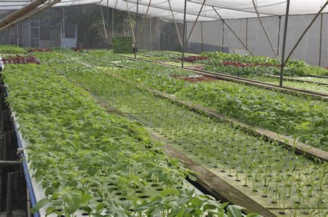 Pinset Hidroponik cara menanam kangkung cara menanam dan teknik budidaya
