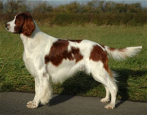 setter dogs 101 irish red and white setter irws info puppies pictures