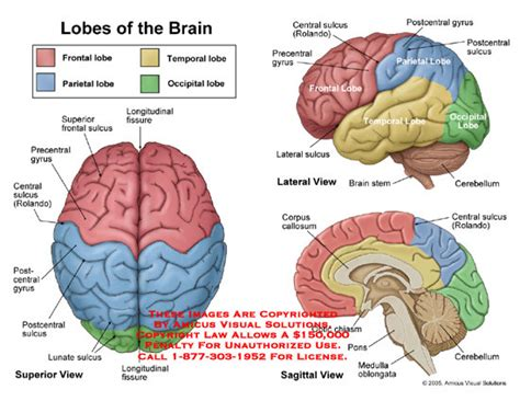 diagram of brain lobes amicus illustration of anatomy lobe brain frontal parietal