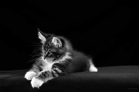 imagenes para fondo de pantalla gatos 2736 x 1824 en blanco y negro descargar im 225 genes para