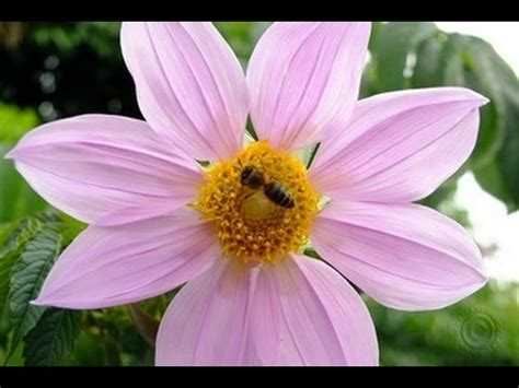 photos of colombia flowers dahlia dahlia imperialis is colombia s 20 foot flower youtube