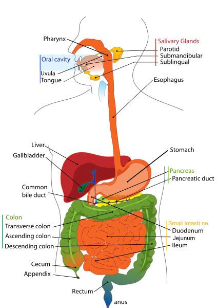 diagram of the intestines small and large intestine anatomy function flora