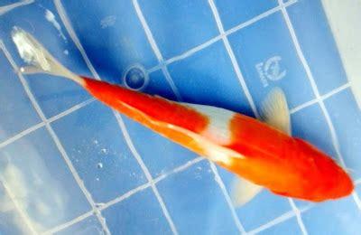 Pakan Yang Bagus Untuk Branjangan cara memilih ikan koi yang bagus budidaya usaha