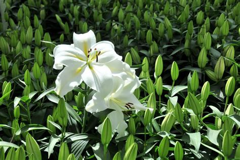 caring for lilies hgtv