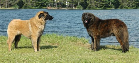 Estrela Mountain dogs near the water photo and wallpaper ...