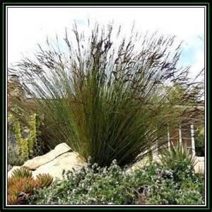 Grasses large cape rush elegia elephantina 10 seed pack