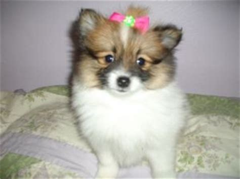 pomeranian puppies pittsburgh pomeranian puppies for sale