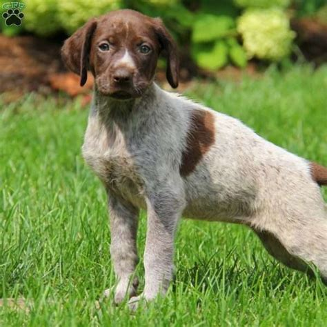 german shorthaired pointer puppies pa shiloh german shorthaired pointer puppy for sale in pennsylvania