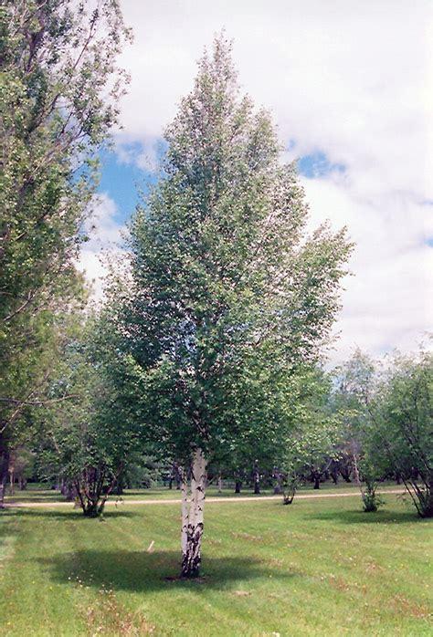 european birch betula pendula  issaquah seattle