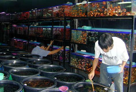 Hiasan Molly Golden Balon Untuk Aquascape Aquarium Akuarium business as usual at chatuchak weekend market in bangkok