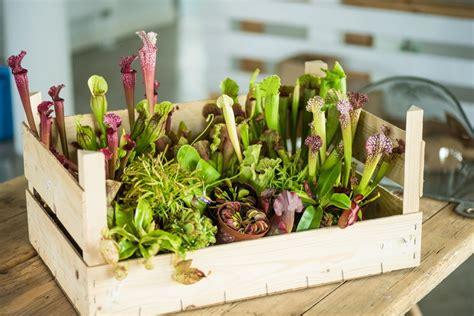 Fleischfressende Pflanzen Kaufen by Fleischfressende Pflanzen Fleischfresser Paket G 252 Nstig
