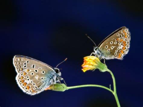 Imagenes De Dos Mariposas Juntas | 191 qu 233 comen las mariposas 187 mariposapedia