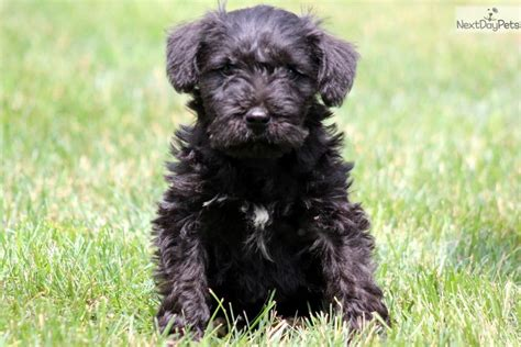 schnoodle puppies for sale only 2 remaining malpas cheshire dog schnoodle puppies for sale schnoodle puppy for sale