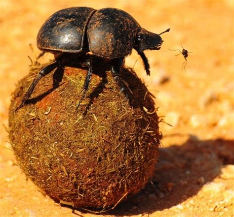 God Of Dung scarab dung beetles navigate by the green prophet