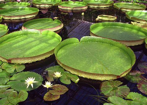 kew gardens giant water lilies   waterlily