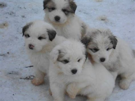 great pyrenees puppies michigan great pryness photo great pyrenees puppies for sale