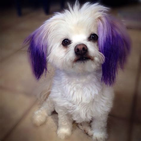 hair dye for dogs 25 best ideas about hair dye on pink poodle poodle cuts and creative