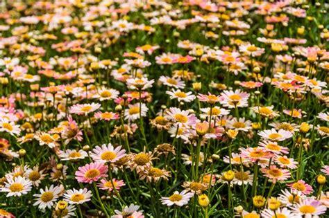 foto di fiori da scaricare co pieno di fiori scaricare foto gratis