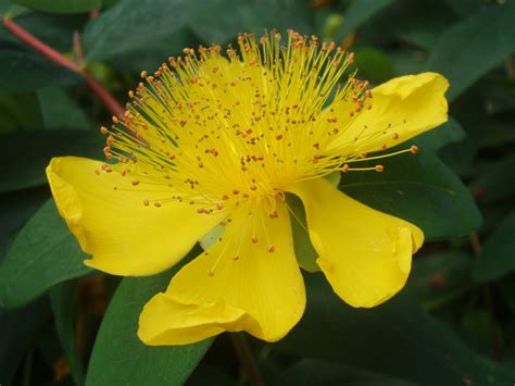 shrubs with yellow flowers in summer plants for shade the garden of eaden
