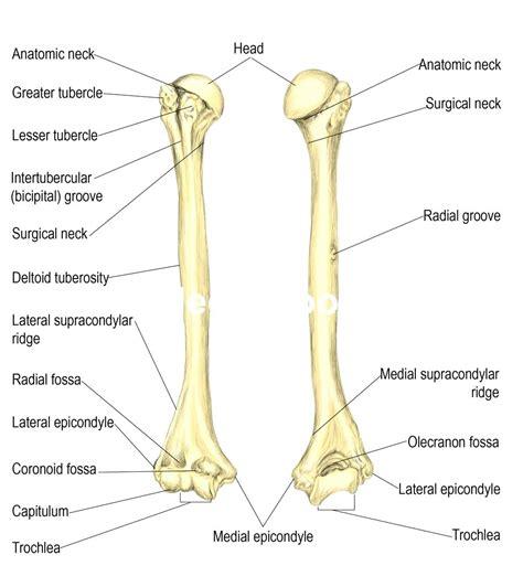 labeled bone diagram diagram arm bones diagram labeled