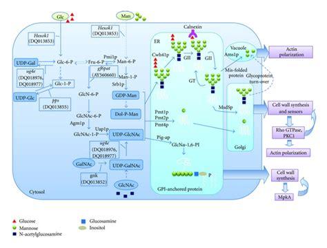 protein glycosylation protein glycosylation in aspergillus fumigatus is
